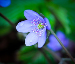 Leberblümchen (Heidi St.) Tags: anemonehepatica hepaticanoblis leberblume leberblümchen rödelsee schwanberg wiesenblume blau