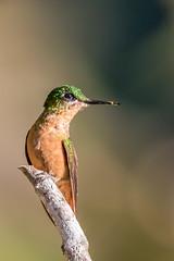 Brazilian Ruby Hummingbird-1453.jpg (donnatopham) Tags: brazil brazilianruby itororo hummingbird
