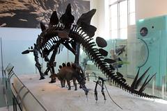 NYC - AMNH: Hall of Ornithischian Dinosaurs - Stegosaurus (wallyg) Tags: americanmuseumofnaturalhistory amnh davidhkochdinosaurwing hallofornithischiandinosaurs manhattan museum newyork newyorkcity ny nyc upperwestside uws stegosaurus