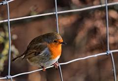 Waiting patiently - Robin @ Burton Mere (Paul_Dean) Tags: robin bird english burtonmere wirral