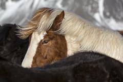 Icelandic Horses (Michael Zahra) Tags: iceland europe winter snow canon 5d3 horse mammal animal nature wildlife travel tourism