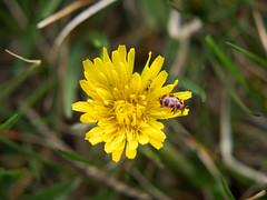Dandelion with ladybug (Lise1011) Tags: plant spring dandelion macro yellow ladybug nature