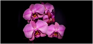 orchidée .orchid