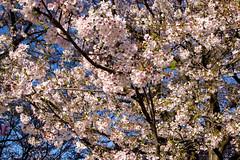 _DSC4453 (sayo-tsu) Tags: sakura cherryblossom saitama gongendopark sattecity 桜 お花見 権現堂 埼玉県