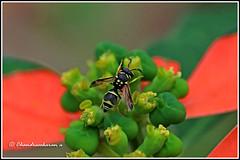 6760 - potter wasp (chandrasekaran a 40 lakhs views Thanks to all) Tags: potterwasp insects nature india chennai canoneos760d tamron90mm