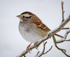 White-throated Sparrow (tresed47) Tags: 2017 201702feb 20170209chestercountymisc birds canon7d chestercounty content folder home pennsylvania peterscamera petersphotos places sparrow takenby us whitethroatedsparrow ngc npc
