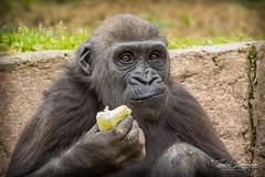 Joanne (ToddLahman) Tags: joanne westernlowlandgorilla 3yearold gorilla sandiegozoosafaripark safaripark canon7dmkii canon canon100400 closeup mammal outdoors