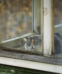 Cat watching bird on the window (♥Oxygen♥) Tags: cat window animal beautiful cute adorable closeup eyes face fur hair kitten nature playful sweet watch white young bird looking wild black close curtain ears expression home hunting pretty pussycat seed small sparrow standing stare three transparent up wildlife fluffy funny hunt light pet portrait grey balcony vintage rustic wood