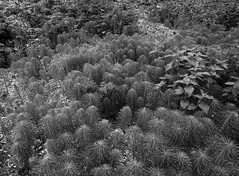 Forest Floor I_bw (Joe Josephs: 3,122,834 views - thank you) Tags: california cambria landscapephotography trails travel travelphotography westcoast adventurephotography hiking joejosephs landscapes outdoorphotography outdoors â©joejosephs2017 blackandwhitephotography blackandwhite forests pineforests fiscaliniranchpreserve californialandscape californiacentralcoast ©joejosephs2017