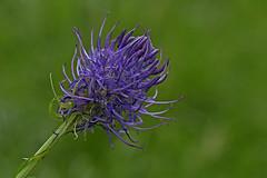_DSC3624 Zwartblauwe rapunzel / Black Rampion (Gert_Paassen) Tags: rampion nederland niederlande netherlands zeldzaam beschermd eifel deutschland germany bloem flower blossom bloeiend rapunzel macro nikon 105mm d750