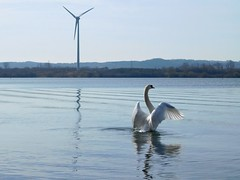 Swan In A Flap (Deb Simpkins) Tags: white swan bird feathers wings head beak flap flapping water ripples reflection lake landscape waterscape wind turbine marstonmoretaine theforestofmarstonvale millenniumcountrypark bedfordshire stewartby spring 2017 nikon coolpix l840 countryside nature wildlife