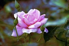 Soft Rose! (maginoz1) Tags: flowers abstract art manipulate contemporary rose alisterclarksrosegarden bulla melbourne victoria australia autumn march 2017 canon g3x