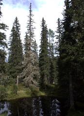 01-IMG_8405 (hemingwayfoto) Tags: österreich austria baum europa fichte hochmoor hohetauern moorauge nationalpark natur naturschutzgebiet rauris rauriserurwald reise spitzfichte tannenbaum urwald wald