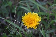 Taraxacum (esta_ahi) Tags: torrentdemasmoió fontrubí penedès barcelona spain españa испания taraxacum compositae asteraceae flor flora flores silvestres yellow