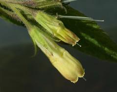 Symphytum tuberosum (Tuberous Comfrey) (Hugh Knott) Tags: symphytumtuberosum tuberouscomfrey flora anglesey wales boraginaceae