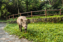 Boar. (bgfotologue) Tags: 水壩 2016 500px aberdeen bgphoto boar countrypark dam flooding hk hongkong image landscape monuments outdoor photo photography pokfulam rain reservoir summer wildboar bellphoto travel 古蹟 堤壩 夏 戶外 攝影 水塘 水庫 港 灣仔峽公園 石橋 貯水池 郊野公園 野豬 風景 香港 香港仔 香港仔水塘 香港仔谷