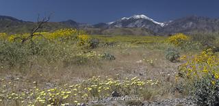 Desert Wildflowers (Explored)