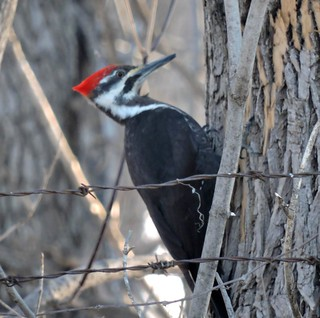 Le Grand Pic - The Pileated Woodpecker. .......30 - 3 - 2017....... DSCN26871