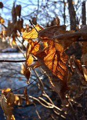 #Leavesinthesun #deadleaves #mikeLiebler #winterleaves #wintersnow #winterlakes #icelakes #CT (mikeliebler222) Tags: leavesinthesun deadleaves mikeliebler winterleaves wintersnow winterlakes icelakes ct leaves nature colorful winter snow mikey