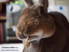 P5140315 () Tags: rabbit bunny  minirex