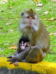 DSCF0705 (_happyfarmer_) Tags: baby indonesia monkey java bb pangandaran singe