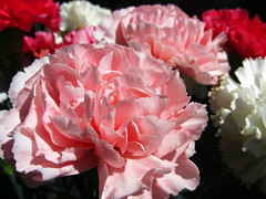 Petals (flips99) Tags: pink flowers red white june norway petals rosa dianthus carnation rød blomster cutflowers dianthuscaryophyllus hvit bukett 2013 kronblad nellik canonpowershotsx220hs avskårne