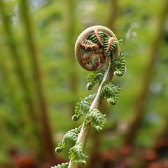Closed tree fern frond (Ron and Co.) Tags: fern tree frond treefern