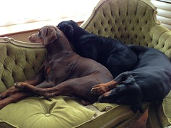 Three sleepy Dobermanns (firehouse.ie) Tags: dog brown black male dogs tan dolce zeus doberman dobie pinscher dobe dobermann dobies dobermans dobes pinschers dobermanns gabbann