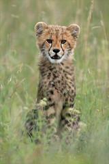 8.Cheetah Cub - Hennie van Heerden (MalaMala Game Reserve) Tags: africa wild baby animal cat southafrica cub feline safari bigcat cheetah jong gamedrive gamereserve acinonyxjubatus malamala jachtluipaard hvhe1 hennievanheerden