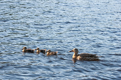 Run from mum (Nicholas Cowen) Tags: mother ducklings there dovestones reservoi