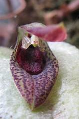 Acianthera sp CANT/SP II (Visite o Grupo microorquideasrm) Tags: de galeria mini sp ii micro orquídeas venda exposição pleurothallis coleção permuta acianthera orquidáceas microorquídeas cantsp robertomicroorquideas robertomicros robertoorquideas