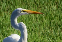 Great Egret (Gary Helm) Tags: bird nature water birds animals landscape outside backyard florida wildlife egret greatwhiteegret polkcounty lakewales lookingoutmybackdoor lakepierce sx50