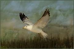 ~its an art...........~ (itsjustme1340-Ress) Tags: wings seagull flight texturesbyrubyblossom istrulyanart