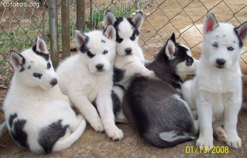 filhotes de husky siberiano branco