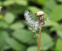 Hanging On! (Chrissie28IWish! ~ hubby passed away 5th Dec peace) Tags: brown white flower green floral leaves stem bokeh cream dandelion seeds seedhead stalk clockwild