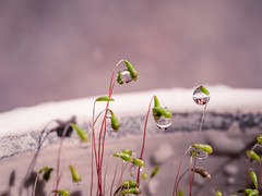 A matter of perception (Impossible Astronaut (52 week project)) Tags: light macro reflection nature moss dof waterdroplets sphagnummoss project365 olympus60mmf28
