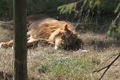 Helt Slut (auzgos) Tags: slut sova kolmården lejon sommarfoto sf130901