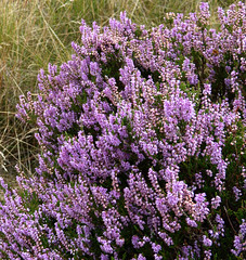 Last of the Heather (grahamramsden52) Tags: plant heather shrub ling moorland calderdale stainland