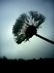 Dew Drops (mendaman) Tags: mist flower water spider droplets drops web seeds dew dandelions