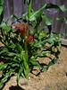 Corn Ears (NickRoseSN) Tags: california ca garden corn maize sanmateo sweetcorn backyardgarden sanmateocounty sweetcornbuttergold