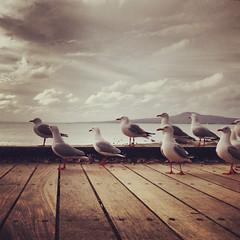 Gulls facing north (Sam Stradwick) Tags: newzealand aotearoa