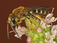 Lasioglossum calceatum (Martin Cooper Ipswich) Tags: suffolk bee ipswich hymenoptera lasioglossum calceatum herowinner