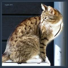 Zus (Cajaflez) Tags: pet female cat kat chat katze gatto huisdier poes zus ruby3 cc1000 mygearandme ruby10 sunrays5 ruby20