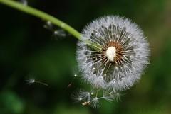 MAKE A WISH (Daniela's Designs) Tags: california wild usa brown white flower green print photography weed sale dandelion card etsy milbrae makeawish blowinginthewind danielasdesigns