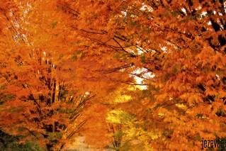 2013-11-04 682a Autmn in Indiana - Shade of Orange