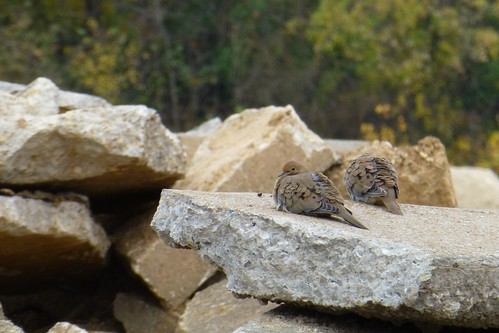 Mourning Doves on Rocks - Valley Park, MO_P1020518c