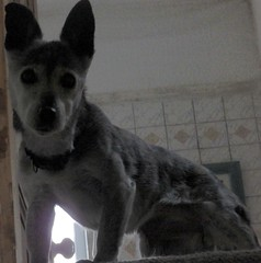 15th Dec Susie upstairs (Cardedfolderol) Tags: dog pet animal canine whippetcross