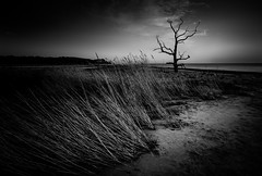Benacre in mono (jellyfire) Tags: england sky blackandwhite beach water monochrome sunrise canon reeds landscape skeleton dawn mono suffolk unitedkingdom deadtree lonetree eastanglia goldenlight greatbritian benacre covehithe 1740mmf4lusm canon5dmkii