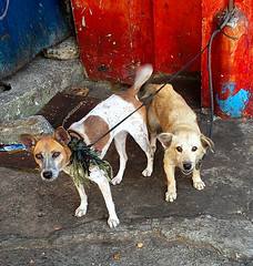 Dogs Leashed Together (mikeeliza) Tags: street blue red dog dogs animals wall gold philippines together manila leash leashed sopped mikeeliza