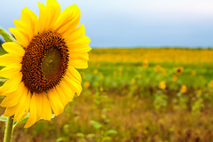 Sunflower fields-1 (Travis Photo Works) Tags: blue summer sky orange plants sun sunlight plant flower green industry nature floral beautiful field yellow closeup rural garden landscape leaf petals colorful natural bright blossom outdoor farm vibrant background details country seed sunny growth crop sunflowers sunflower oil organic agriculture botany blooming vision:mountain=0627 vision:sky=0624 vision:outdoor=0876 vision:plant=0835